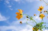 virág sárga cosmos