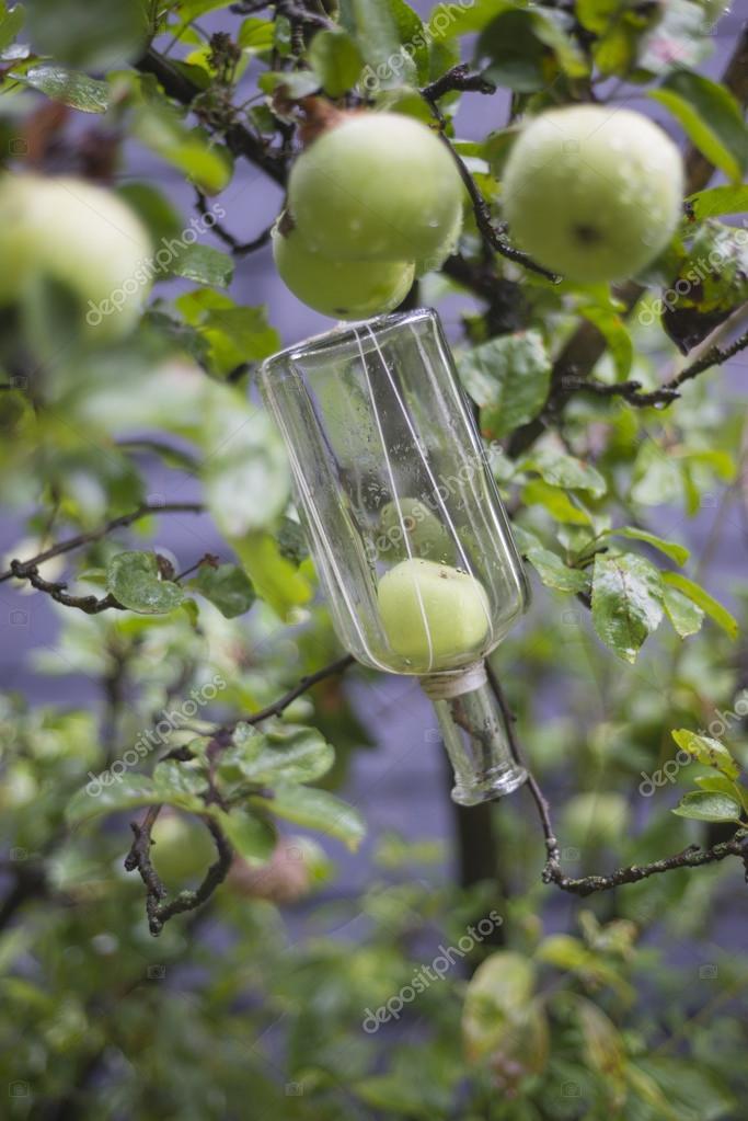 Growing fruit into bottle