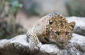 Fotografie Leopard