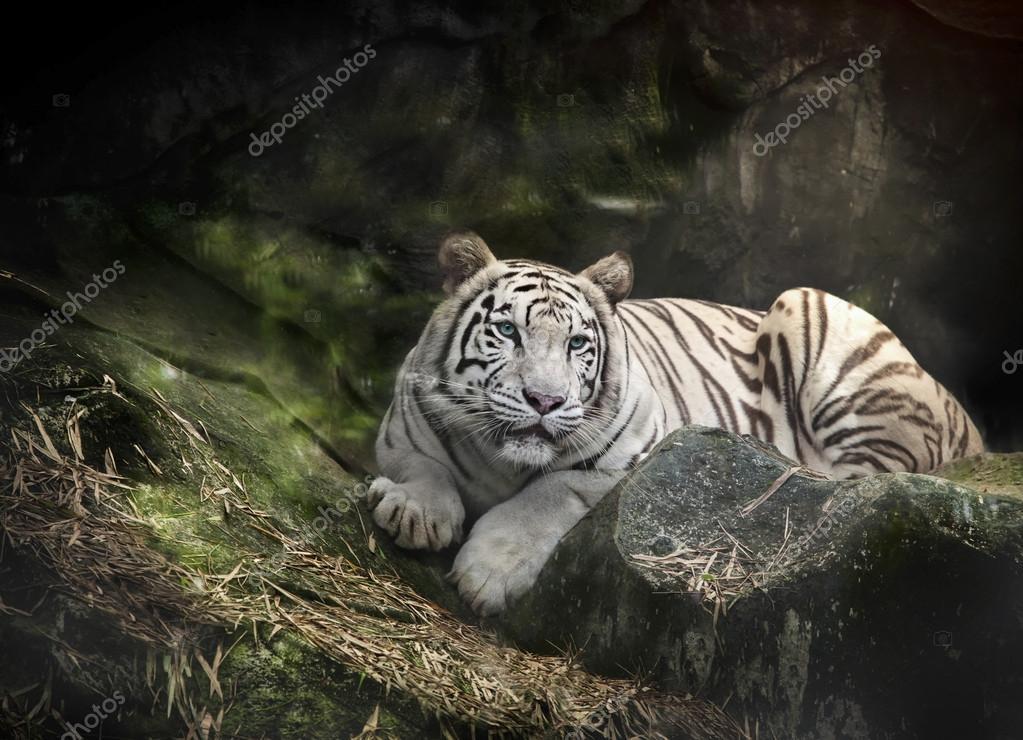 WHITE TIGER on a rock