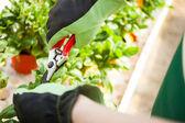 Fotografie zahradník ořezávání rostlina