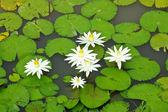 Fotografie Bílý lotos