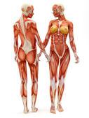 Fotografia sistema muscolo-scheletrico femminile
