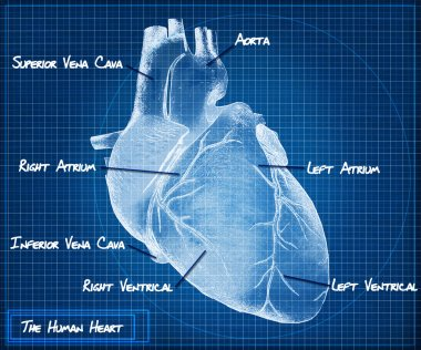 The Human heart blueprint concept. stock vector