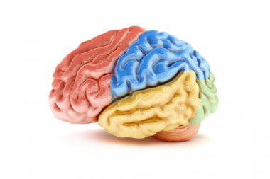 Colored sections of a human brain