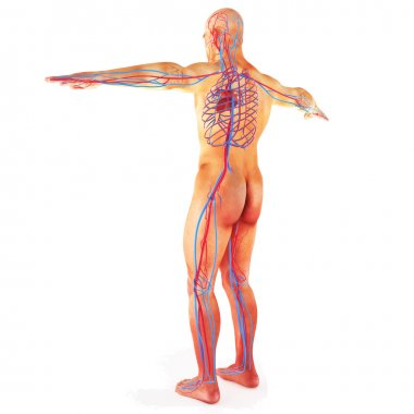 Male Human circulatory system