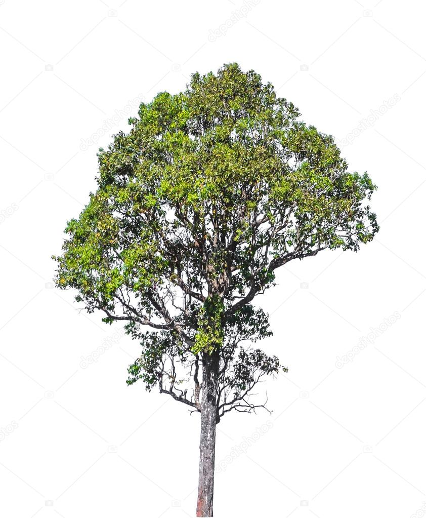 Tree isolated on white with clipping path