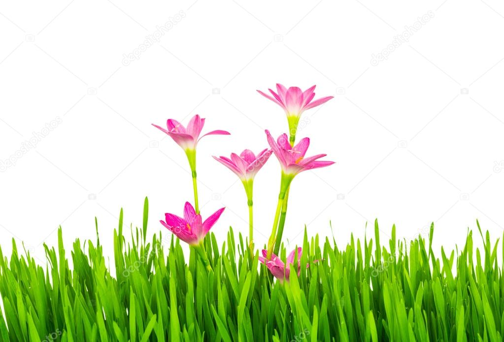 Beautiful pink flowers and fresh spring green grass isolated on