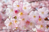 Fotografie jarní pozadí s růžovými květy na větvičky