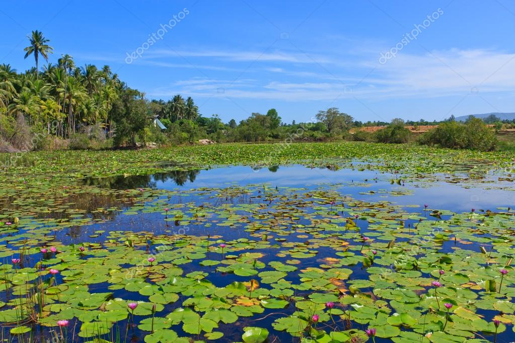 Pwater lily flowers