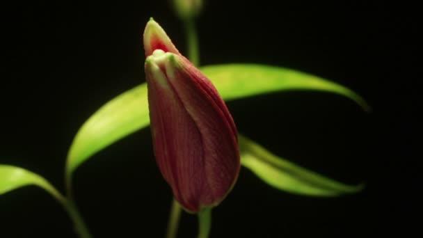 time-lapse růžové lilie