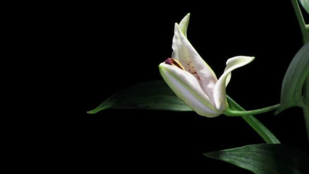 time-lapse bílá lilie