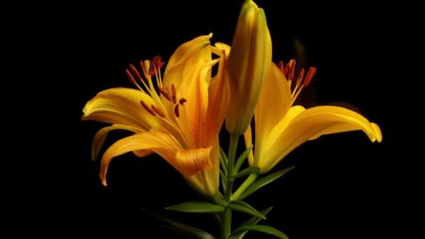 Žlutá asijské lilie vadnutí Timelapse