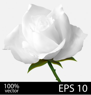 White rose flower.