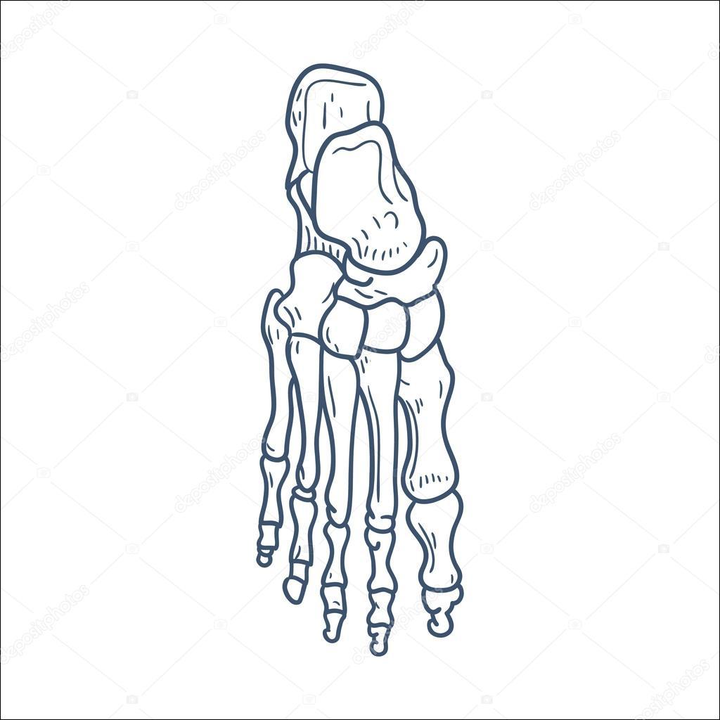 huesos del pie. pieza de esqueleto aislado en blanco — Vector de ...