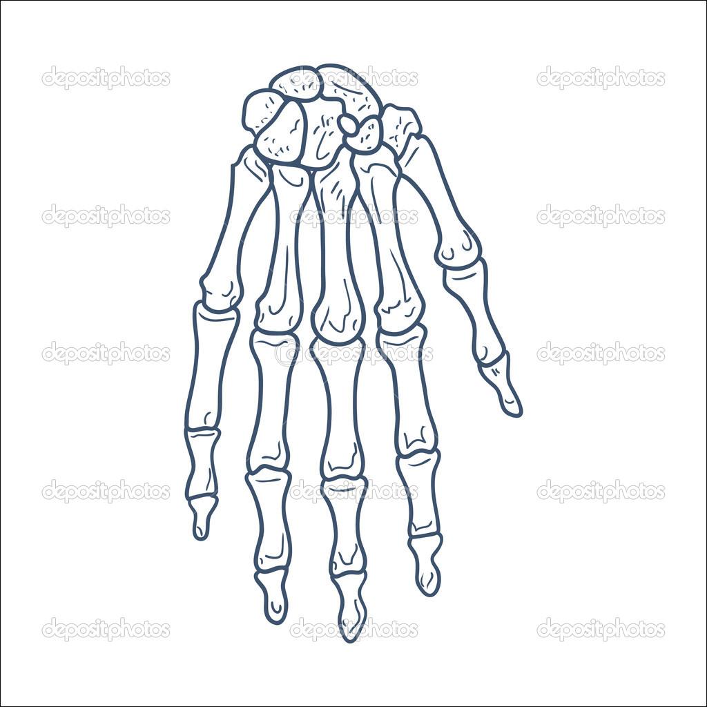 huesos de la mano. pieza de esqueleto aislado en blanco — Archivo ...