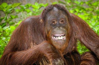 Portrait of Orangutan (Pongo pygmaeus) smiling with his teeth