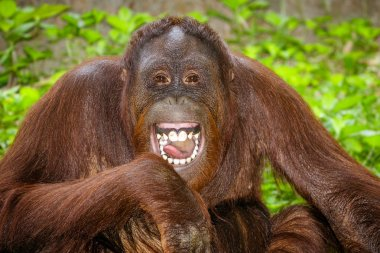 Portrait of Orangutan (Pongo pygmaeus) laughing with mouth wide open