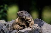 Photo Groundhog
