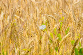 Photo Golden wheat and buckwheat flower