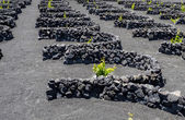 Photo Vines of lanzarote