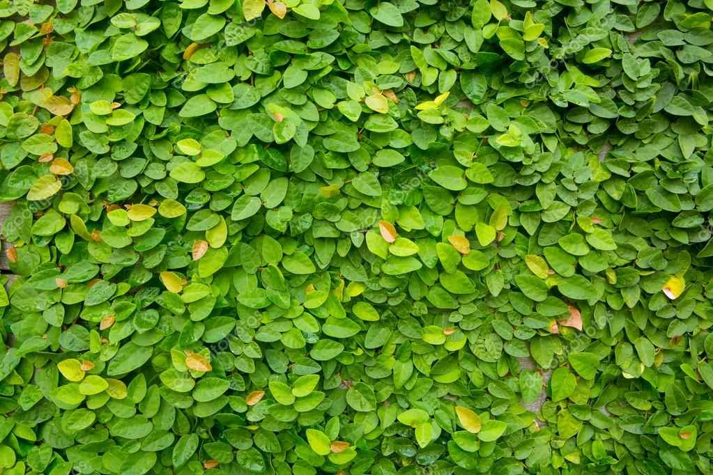 The Green Creeper Plant on wood background