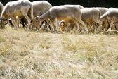 Fotografia gregge di pecore al pascolo