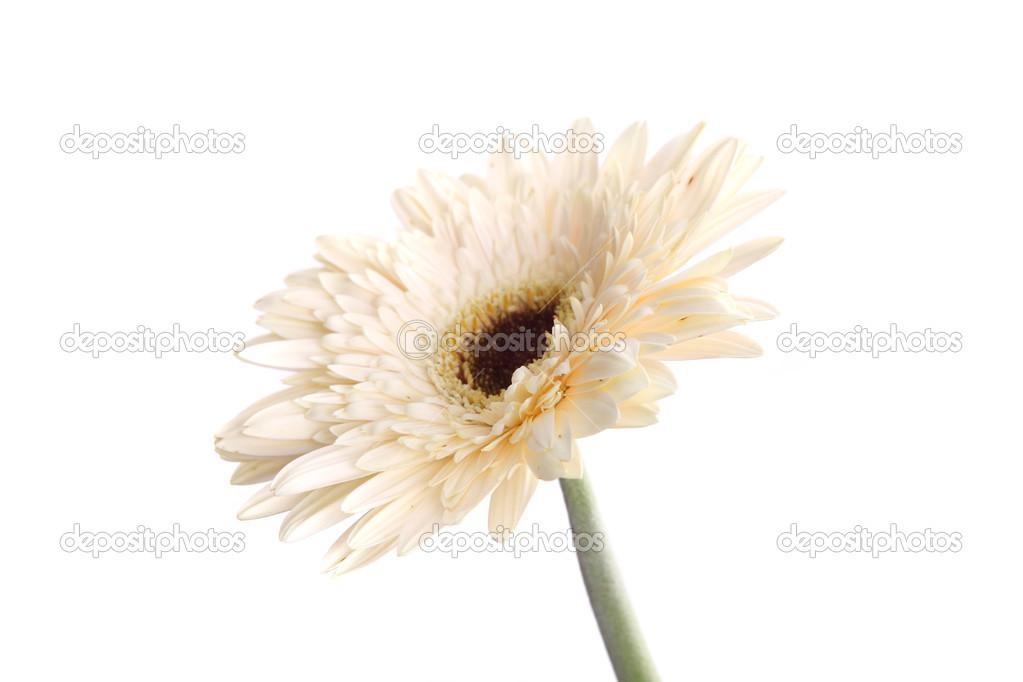 weiße Gerbera-Blume, die in weißen Hintergrund isoliert — Stockfoto ...