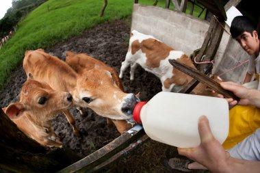 Feeding hungry calves on Costa Rican farm