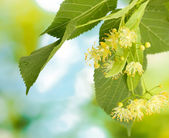 Fotografie Branch of linden flowers in garden