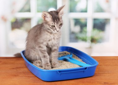 Small gray kitten in blue plastic litter cat on wooden table on window back