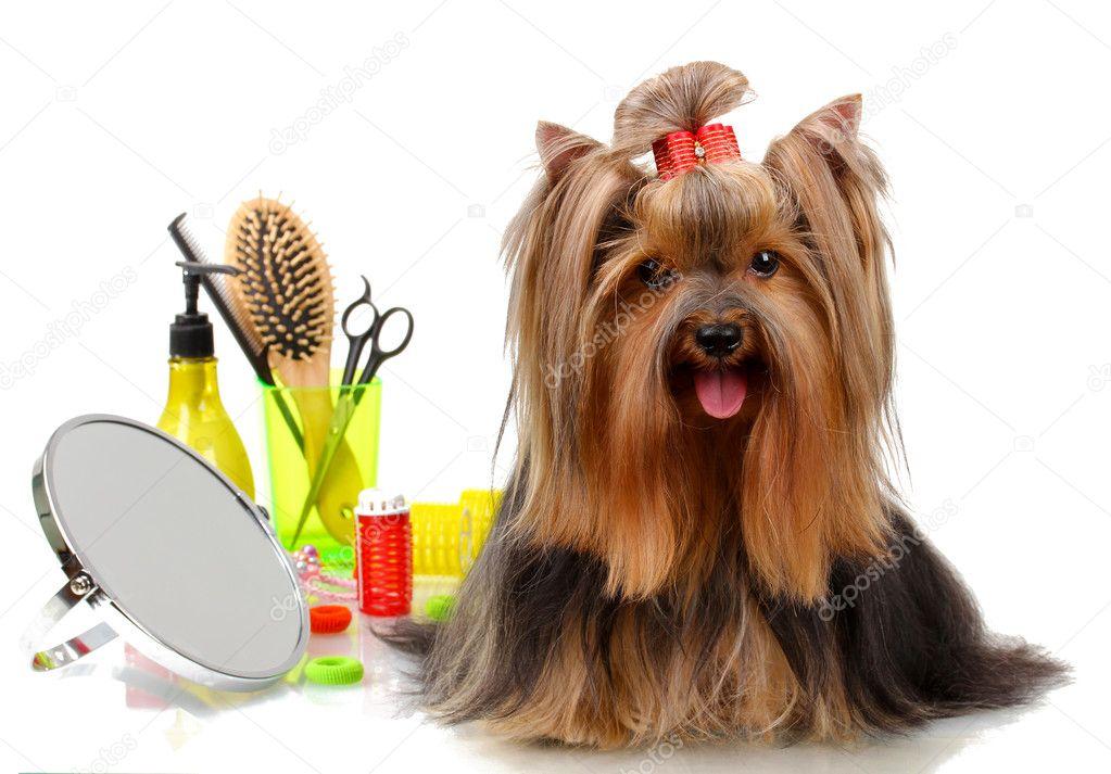 Wunderschöne Yorkshire Terrier Mit Grooming Elemente Isoliert Auf