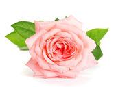 Fényképek elszigetelt fehér Rózsa