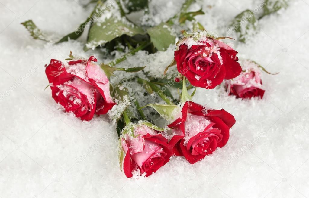 https://st.depositphotos.com/1177973/1348/i/950/depositphotos_13484146-stock-photo-beautiful-vinous-roses-in-the.jpg