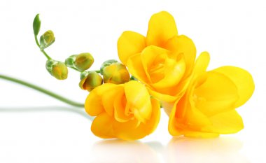 Beautiful yellow freesia isolated on white