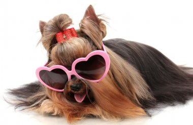 Beautiful yorkshire terrier with glasses isolated on white
