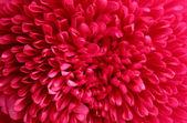 rózsaszín virág aster, közelről