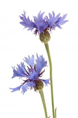 cornflowers isolated on white