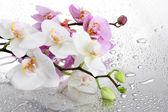 Fotografie růžové a bílé krásné orchideje s kapkami
