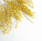 Fényképek A mimosa virágok, elszigetelt fehér gallyak