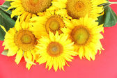 Beautiful sunflowers on color background