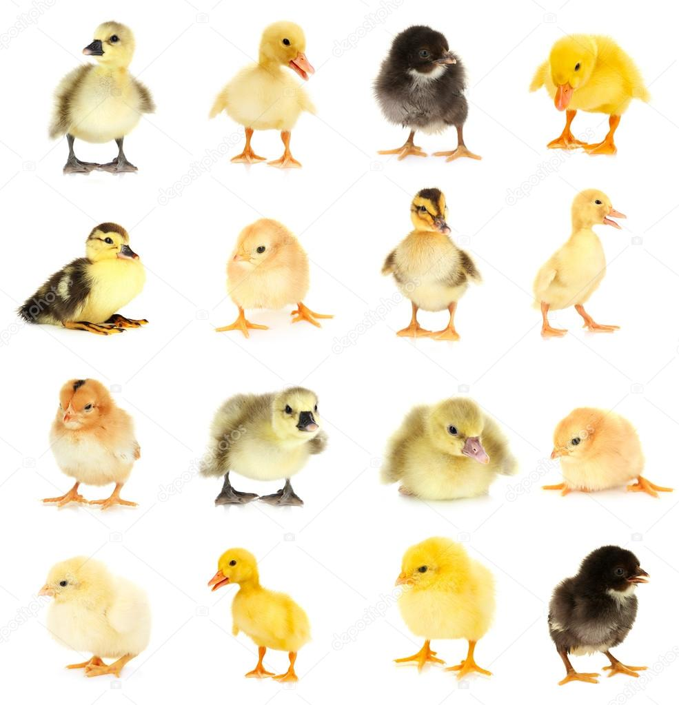 Collage of beautiful little chickens and ducklings