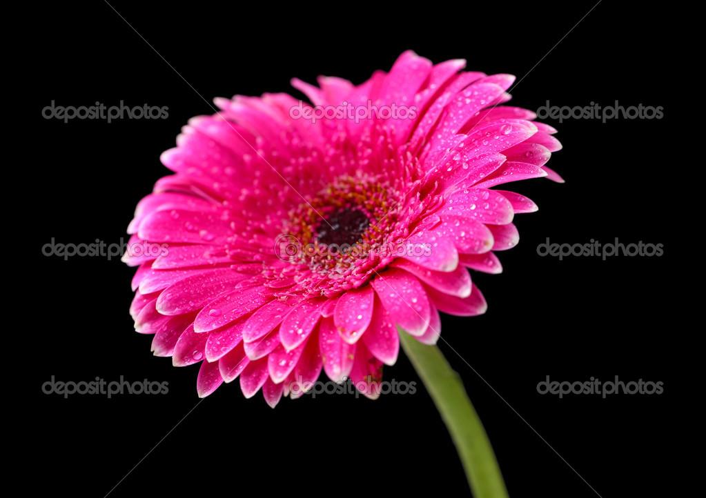 flor hermosa gerbera rosada sobre fondo negro fotos de stock