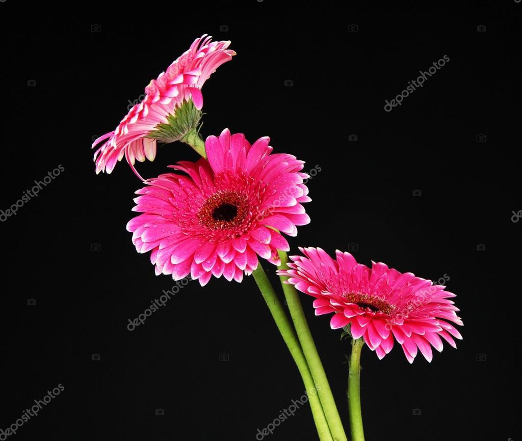 Foto Rosa Fiore Bellissima Gerbera Rosa Fiori Su Sfondo Nero