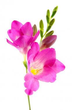Beautiful freesia flower, isolated on whit