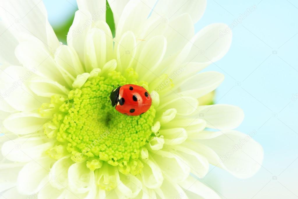 Schöne Marienkäfer Auf Blume Nahaufnahme Stockfoto Belchonock