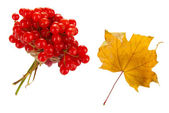 Red berries of viburnum with yellow leaf isolated on white