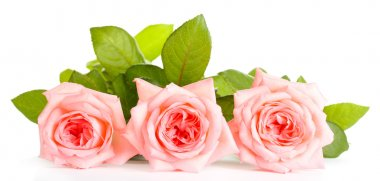 Pink roses isolated on whit
