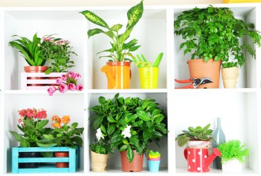 Beautiful flowers in pots on white shelves close-up
