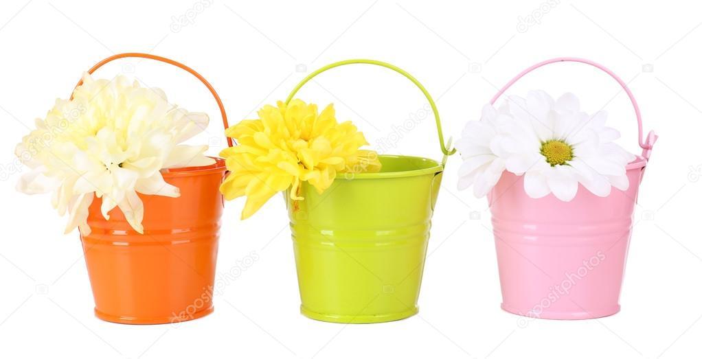 Beautiful chrysanthemum flowers in buckets isolated on white stock beautiful chrysanthemum flowers in buckets isolated on white photo by belchonock mightylinksfo